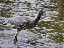 heron-eating-stingray-2-21