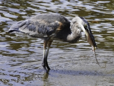 heron-eating-stingray-2-18