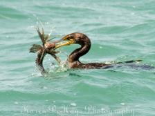 cormorant-eating-lionfish-4675
