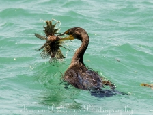 cormorant-eating-lionfish-4674
