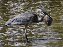 heron-eating-stingray-2-10