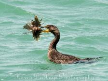 cormorant-eating-lionfish-4673